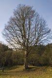 duży dębowy drzewo Zdjęcie Stock