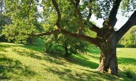 Duży Dębowy drzewo fotografia stock