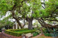 Duży dębowy drzewo w Jacksonville, Floryda Zdjęcia Stock