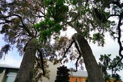 Duży dębowy drzewo w Jacksonville, Floryda Fotografia Royalty Free