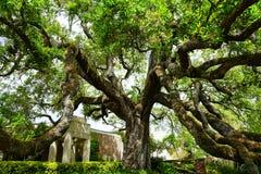 Duży dębowy drzewo w Jacksonville, Floryda Obraz Royalty Free