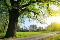Duży dębowy drzewo w parku Zdjęcie Royalty Free