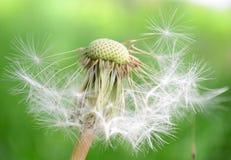 Duży dandelion makro- na świeżym zielonym tle Zdjęcie Royalty Free