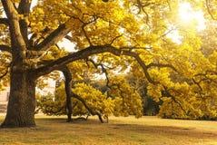 Duży dojrzały jesieni drzewo Obrazy Royalty Free