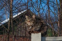 Duży dorosły owłosiony pasiasty Syberyjski kota zbliżenie Zdjęcie Royalty Free