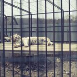 Duży dorosły tygrysi biel żyje w zoo Zdjęcie Stock