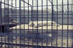 Duży dorosły tygrysi biel żyje w zoo Obraz Stock