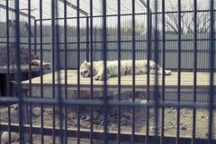 Duży dorosły tygrysi biel żyje w zoo Obraz Royalty Free