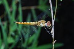 Duży dragonfly na kija bambusie w lesie przy Thailand fotografia stock