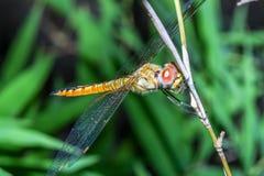 Duży dragonfly na kija bambusie w lesie przy Thailand zdjęcia stock