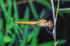 Duży dragonfly na kija bambusie w lesie przy Thailand zdjęcie stock