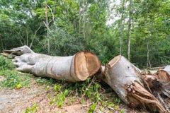 Duży drzewa cięcia puszek w lasu, wylesienia lub globalnego nagrzania pojęciu, problem ochrony środowiska Obrazy Royalty Free