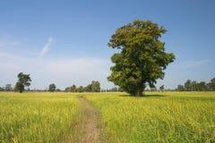 Duży drzewa i ryż pole zdjęcie stock