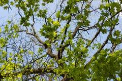 Duży drzewny bagażnik, stare gałąź otaczający i zielonym klonem i li Fotografia Royalty Free