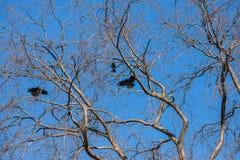 Duży drzewny bezlistny zdjęcia stock