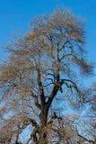 Duży drzewny bezlistny zdjęcie royalty free