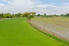 Duży drzewo między ryżu polem Obraz Stock