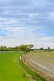 Duży drzewo między ryżu polem Fotografia Royalty Free