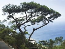 duży drzewo na falezach przy plażą obraz royalty free