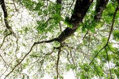 Duży drzewo pod nieba i zieleni liśćmi Fotografia Stock