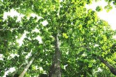 Duży drzewo pod nieba i zieleni liśćmi Obraz Stock