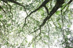 Duży drzewo pod nieba i zieleni liśćmi Zdjęcia Royalty Free