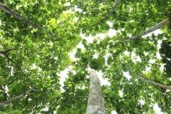 Duży drzewo pod nieba i zieleni liśćmi Obrazy Royalty Free