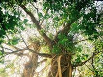 Duży drzewo w lesie Zdjęcie Stock