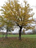 Duży drzewo w parku w spadku barwi obrazy royalty free