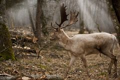 Duży Europejski dziki samiec rogacz w drewnach w spadku zdjęcie royalty free