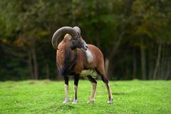 Duży europejski moufflon w łące Zdjęcie Royalty Free