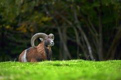 Duży europejski moufflon w łące Zdjęcie Stock