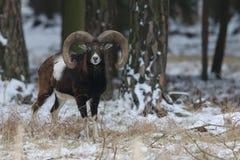 Duży europejski moufflon w lesie, dzikie zwierzę w natury siedlisku Obraz Stock