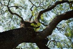 duży gałęziasty drzewo Fotografia Stock
