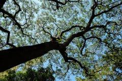 duży gałęziasty drzewo Zdjęcie Royalty Free