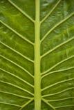 Duży grean liść z żyłami zdjęcia stock