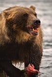 Duży grizzly je świeżej ryba Obraz Stock