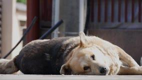 Duży i biały domowy pies kłaść w dół spać relaksuję na ziemi zbiory