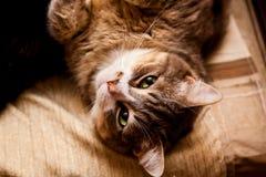 Duży i gruby kot z zielonymi oczami obrazy royalty free