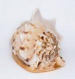 Duży i piękny seashell Obraz Stock