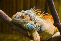 duży iguany jaszczurki terrarium Zdjęcie Royalty Free
