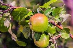 Duży jabłko Fotografia Royalty Free