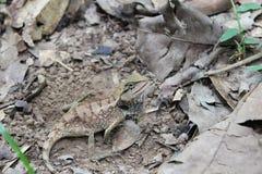 Duży kameleon na suchych liściach obrazy stock