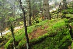 Duży kamienia kamień przerastający z zielonym mech w zwartym lasowym Wiecznozielonym drewnie obrazy royalty free