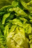 duży kapusty zieleni głowy warzywa Zdjęcia Stock