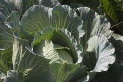 duży kapusty zieleni głowy warzywa Obrazy Stock