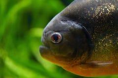 Duży kierowniczy drapieżnik ryby piranha zbliżenie duży kropli zieleni liść makro- fotografii woda obraz stock