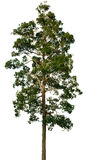 duży korony drzewny biel Zdjęcia Royalty Free