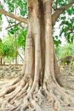 Duży korzeń i drzewo Zdjęcie Stock