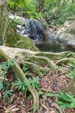 Duży Korzeniowy drzewo na małej siklawie w porze suchej Fotografia Stock